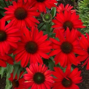 """Echinacea    """" Sombrero Salsa Red"""" 20 Seeds  Limited In Stock"""