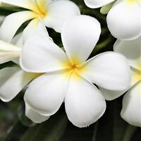 HAWAIIAN WHITE PLUMERIA PLANT CUTTING -  9 - 12 IN. LONG UNROOTED