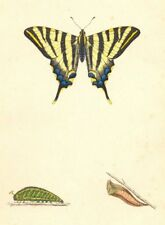 BUTTERFLIES. Scarce Swallow Tail (Morris) 1870 old antique print picture