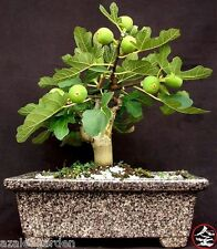 Bonsai Sycamore Fig , Ficus sycomorus Fruit, Fig Mulberry Tree seeds - 50 nos
