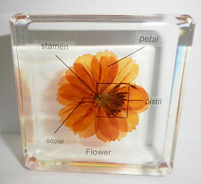 Labelled Yellow Cosmos Flower 4 labels in Clear Block Education Plant Specimen