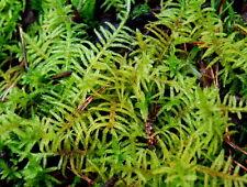 Live creeping moss for terrarium, vivarium, frogs or miniature garden