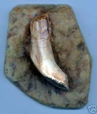 WELL DETAILED IGUANODON TOOTH