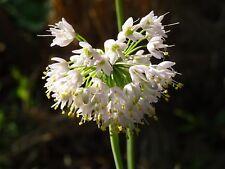 Allium cernuum Nodding Wild Onion 30 Seeds 2018