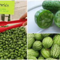 30pcs Mini Wassermelone Seeds,   Wassermelone Samen Obst Hausgarten Pflanze W5Z3