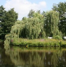 Trauerweide Salix alba 'Tristis' Gelbe Trauerweide 150 - 200 cm im Container