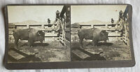 Bull by the Horns –Butte Montana – N.A. Forsyth Early 1900s Stereoview Slide