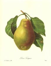 Vintage Redoute Botanical Fruit Print Pear Illustration Gallery Wall pjr 2439
