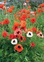 Poppy-Orientale - Mixed colors- 500 Seeds- BOGO 50% off SALE