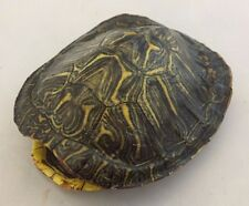 Real Turtle Shell - 3 - 4 inch Long - Red Eared Slider - Carapace Taxidermy