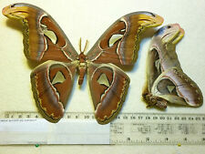 Real Butterfly/Moth dried insect specimens Non Set  Attacus atlas .Large male.