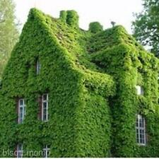 2 Packed Green Wall Plants Decor Home Yard Spring Planted Fresh Boston Ivy Seeds