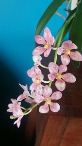 Orchid Sarcochilus Patricia Abell x Sarc.Cherie ** In Flower**