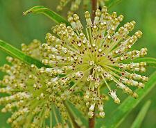 RARE 8 graines Asclepiade Verte Hérissée(Asclepias Hirtella)X182 SEEDS SEMILLAS