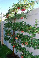 30 pcs Climbing Bonsai Dwarf Apple Seeds Fruit Seeds Perennial Tree Seeds