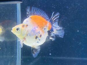 Ryukin Calico Gold Fish Premium Grade UK Seller...!!!