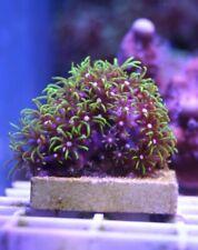 Wysiwyg Live Coral: Green Star Polyps, Bright Green, Easy Fun Coral!