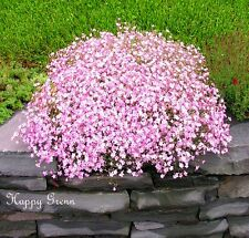 CREEPING BABY'S BREATH – Gypsophila Repens Rose - 750 SEEDS - Perennial Flower