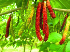 Mulberry fruit tree seeds FRUCTUS MORI seeds Morus 20 seeds