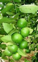 Thai Tropical Key Lime 10 Seeds Citrus Aurantifolia Fresh + From Thailand