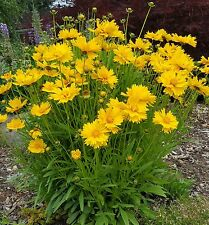 Coreopsis Grandiflora Tickseed 100+ seeds. Yellow perennial drought hardy flower