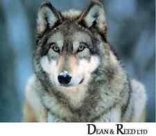 Grey Wolf - Mini Poster - 40cm x 50cm MPP0194 - M37