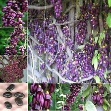 Extremely RARE Amazing Climber Vine * Mucuna Sempervirens * 2 Large Fresh Seeds