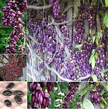 Extremely Rare Amazing Climber Vine * Mucuna Sempervirens * 2 Large Fresh Seeds