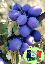 6 Graines Prunier d'Ente la vraie prune des Pruneaux d'Agen de culture bio