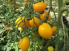 Anna HermannTomate Tomatensamen 20 Korn russische Tomate  Rarität