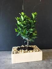 Green Island Ficus bonsai tree. Indoor