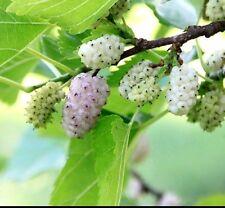 White Mulberry-Morus alba - 55 graines-idéal pour bonsai