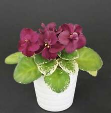 Mac`s Something Special  Blatt/ leaf African Violet Usambaraveilchen