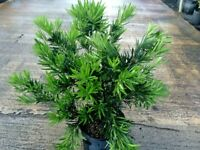 6 Podocarpus Macrophyllus - These are small starter plants less than 12 inches.