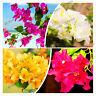 "Mixcolor 'bougainvillea Spectabilis Seeds Plants Willd"" Bonsai Garden 106pcs"