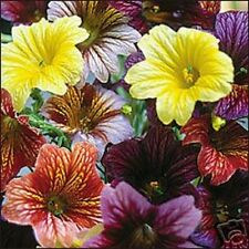 25+ RARE STAINED-GLASS FLOWER SEEDS MIX / ANNUAL / SALPIGLOSSIS