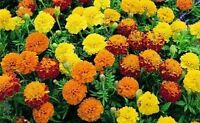 FLOWER MARIGOLD DWARF FRENCH PETITE MIX 400 FLOWER SEEDS
