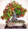 10 Pcs Seeds Cherry Bonsai Fruit Sweet Sylvia Dwarf Tree Plants Garden Potted O