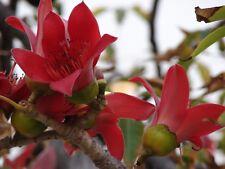 *UNCLE CHAN* 100 SEED BOMMAX CEIBA RED SILK TREE KAPOK STUNNING FLOWER FRESH C84