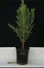 Large Giant Sequoia live tree seedling Is 15 to 22 inches