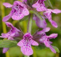 i! SUMPFZIEST !i Topfpflanze Garten Blumenbeet violette Blüte - winterhart.