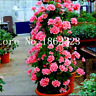 Climbing 100 Pcs Seeds Flowers Bonsai Geranium Variegated Potted Garden Plants R