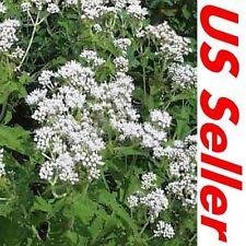 Eupatorium Seeds – Boneset, 300 Seeds G93, Kitchen Herb, Perennial Vegetables