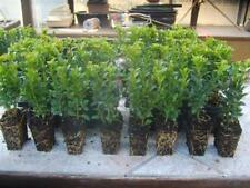 Buxus sempervirens 10 Stück Bux  8/15 Buchsbaum Hecken Buchs Pflanzen