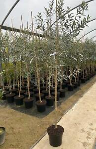 Large Olea Europaea Olive Tree 4-5ft Tall Supplied in a 7.5 Litre Pot