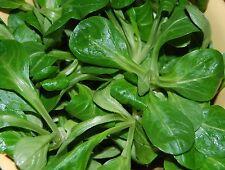 🥗 1.000 Samen Feldsalat holländischer breitblättriger Salat Rapunzel