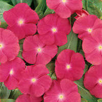 Rose Vinca Seeds, Rose Periwinkle Seeds, Non-Gmo Heirloom Flower Seeds, 50ct