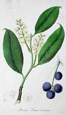 Prunus Lauro-Cerasus Lorbeerkirsche Cherry Laurel Frucht Blausäure Übelkeit Gift