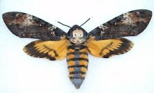 ONE REAL ACHERONTIA ATROPOS DEATH'S HEAD MOTH UNMOUNTED WINGS CLOSED