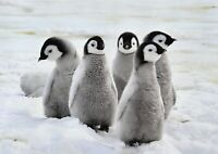 A1 Emperor Penguin Chicks Snow Poster Artwork Print 60 x 90cm 180gsm Gift #13280